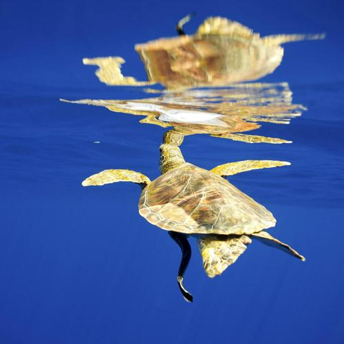 Sea turtle with its reflection