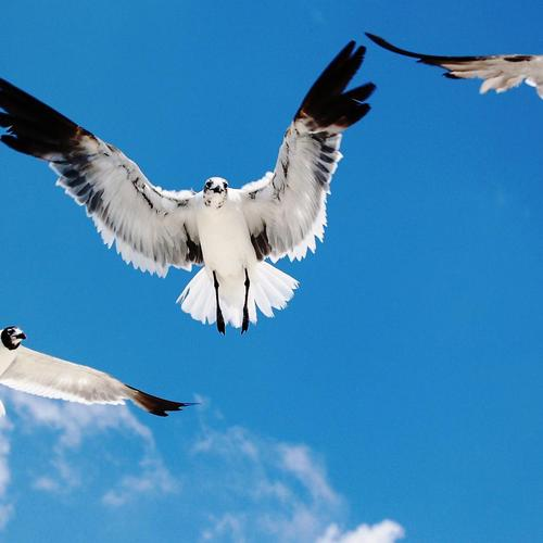 Seagals birds on blue sky wallpaper
