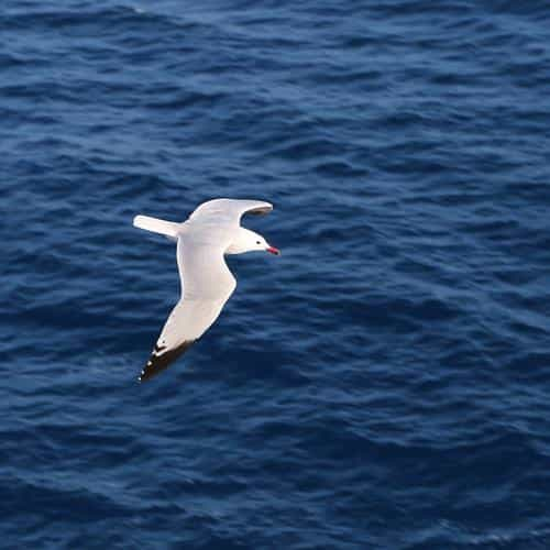 seagull bird sea ocean animal nature