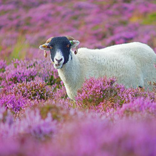 Sheep in lilac flower field