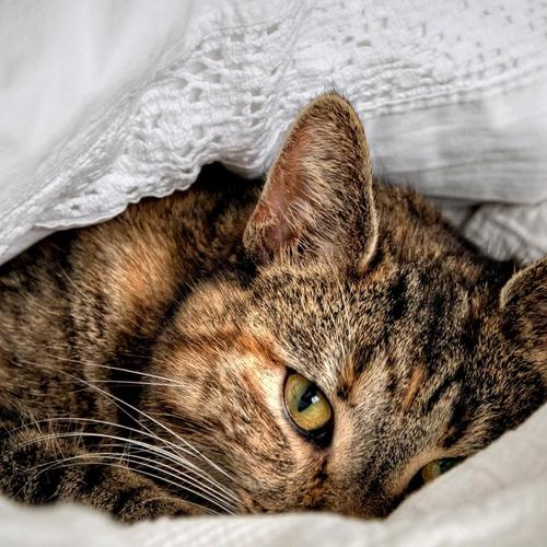 Shy Cat laying under the pillow