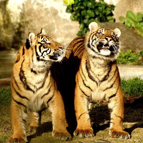 Siberian tiger couple wallpaper