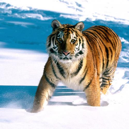 Siberian Tiger on snow wallpaper