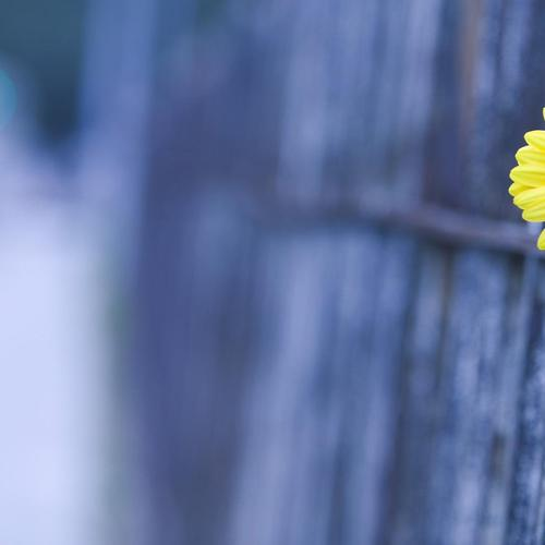 Download Single Yellow Beauty flower on the fence High quality wallpaper