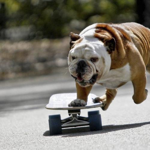 Skateboarding dog wallpaper