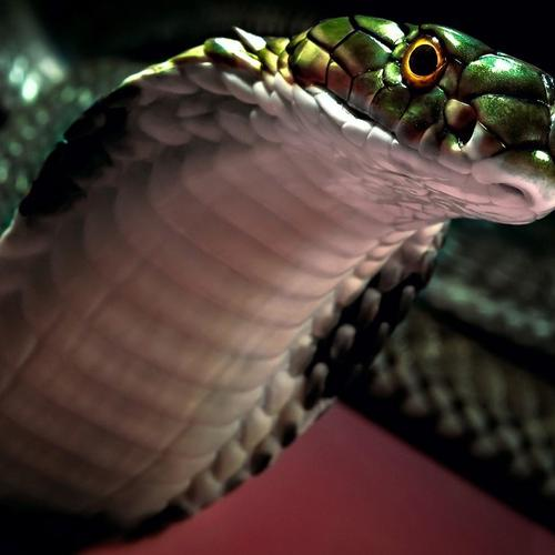 Snake Cobra close up
