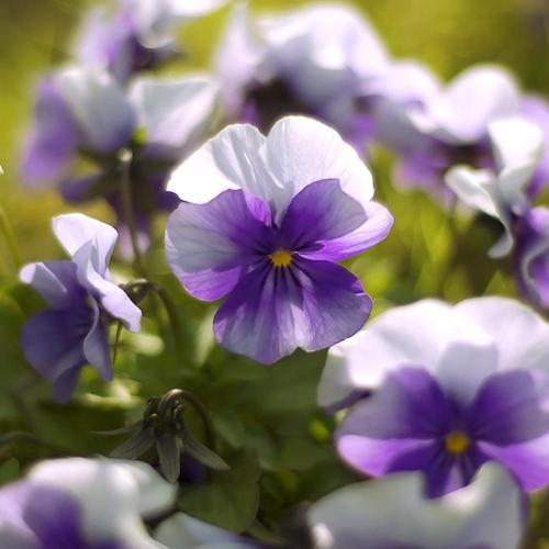 So soft purple tender flower wallpaper