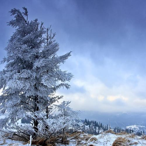 Solitary Fir Tree В Winter тапети