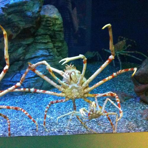 Spider crab wallpaper