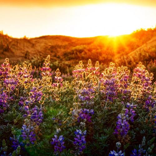 Splendid Lupines at sunset wallpaper