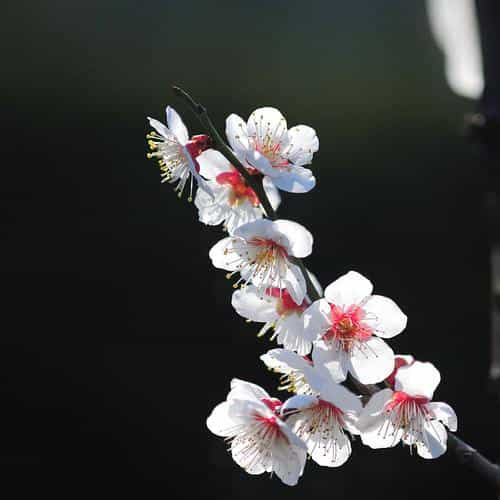 spring flower sakura nature tree