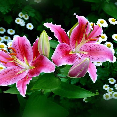 Spring & Pink Easter Lilies wallpaper