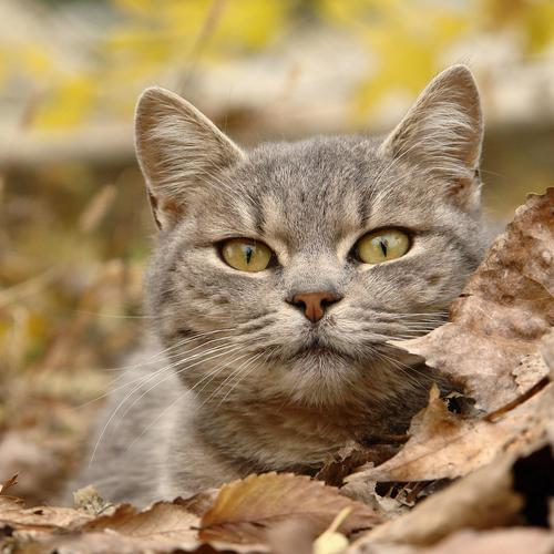 Staring Grey Cat With Leaves