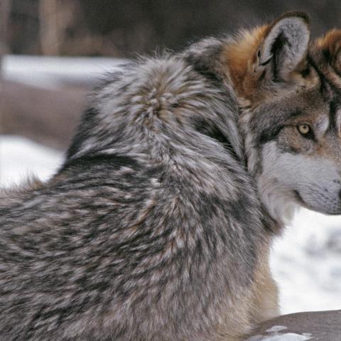 Loup regarder fonds d