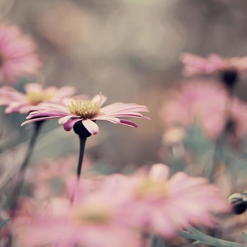 Stunning macro of pink flower in vintage color wallpaper