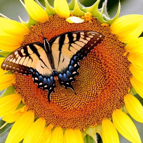 Sunflower butterfly wallpaper