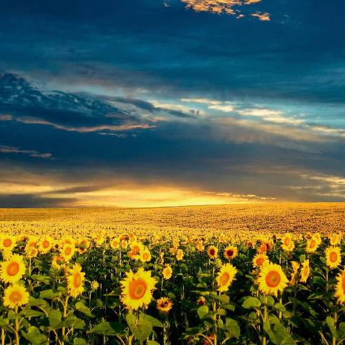 Sunflower fields wallpaper