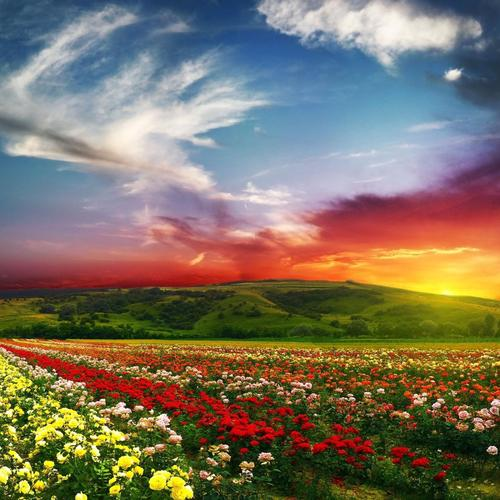 Sunset over flower field wallpaper