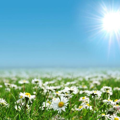 Sunshine above of daisy field wallpaper