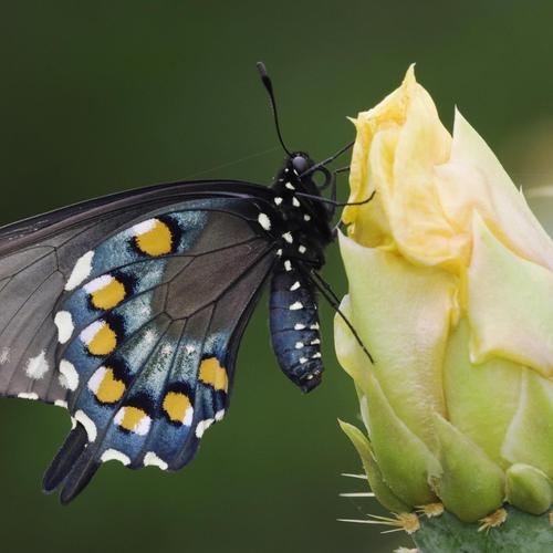 Swallowtail Butterfly on cactus bud wallpaper