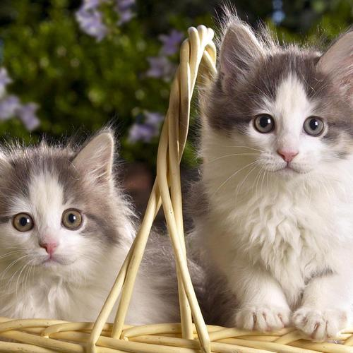 Sweet kitten couple in basket wallpaper