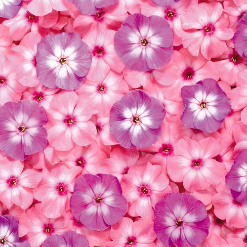 Sweet purple and pink flowers