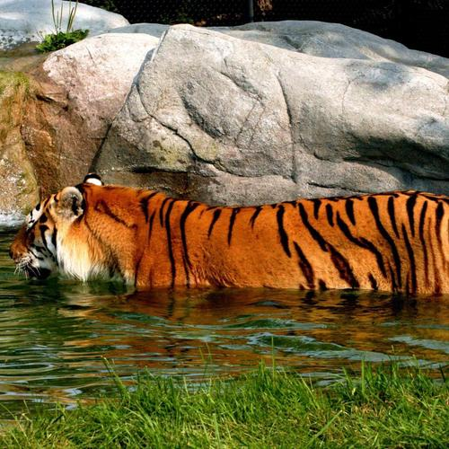 Swiming tiger