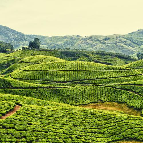 Tea plantation in Kerala wallpaper