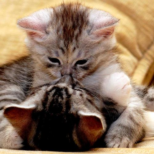 Tender kiss of two kittens wallpaper