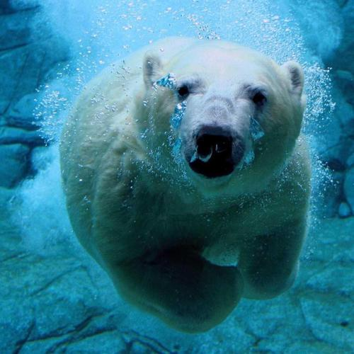 The Diving Polar Bear
