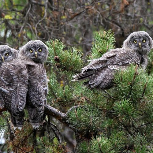 The Great Gray Owls Pine Branch wallpaper