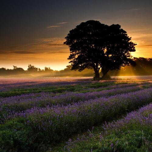 The last sun light over the purple flowers field