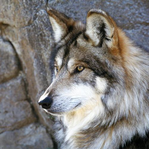 The Majestic Beautiful gray wolf