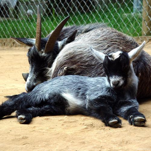 Download The Pygmy Goat High quality wallpaper