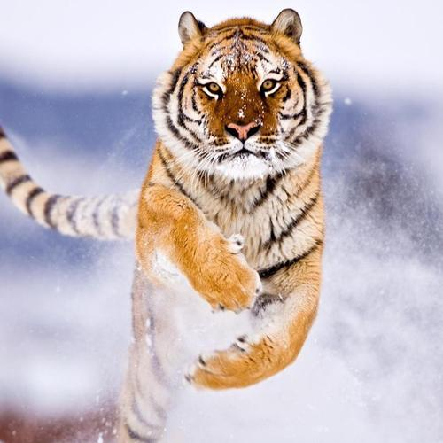 The ride of the tiger on snow wallpaper