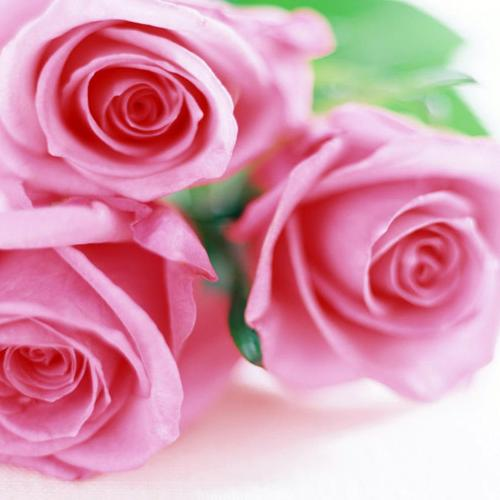 Three pink roses wallpaper