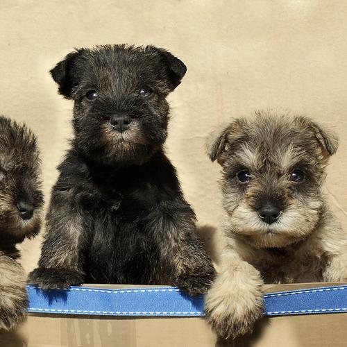 Drie puppies in een doos behang