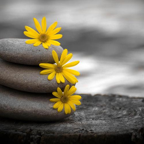 Three yellow flowers on three stones
