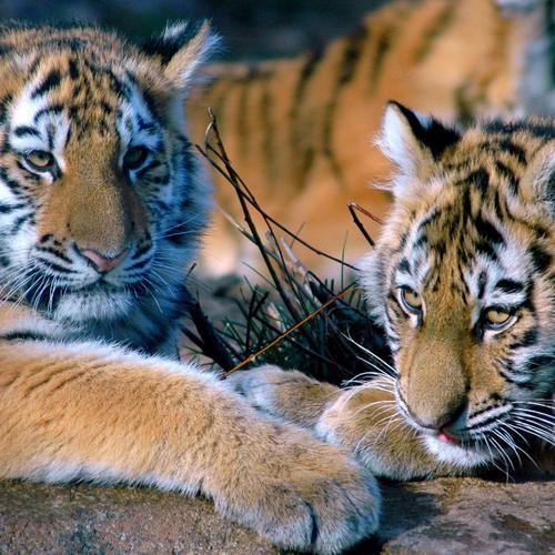 Tiger cubs Relaxing