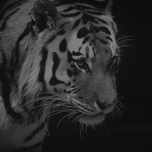 tiger dark bw animal love nature