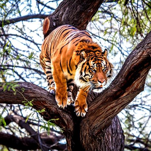 Tiger jumps from the tree