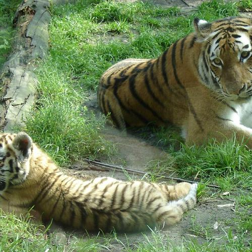 Tiger mother and his son