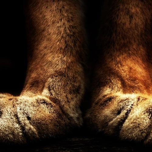 Tiger paws wallpaper