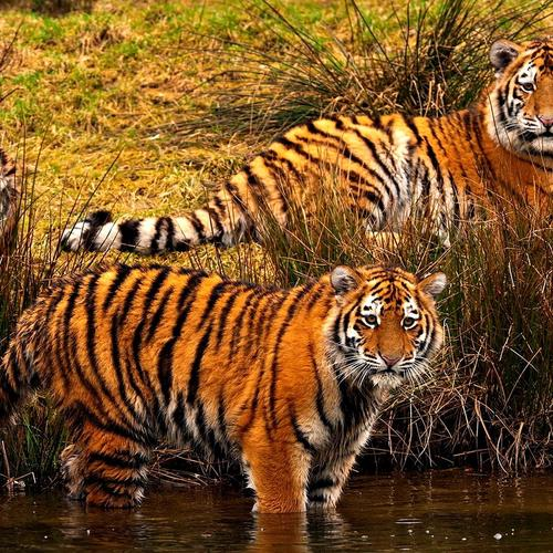 Tigers beside a stream