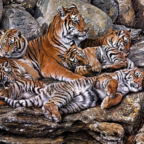 Tigers on rocks