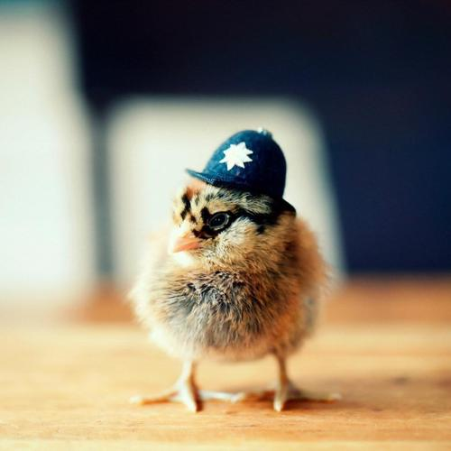 Tiny chicken with funny hat