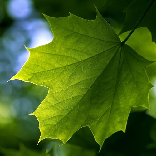 Toronto green maple leaf wallpaper