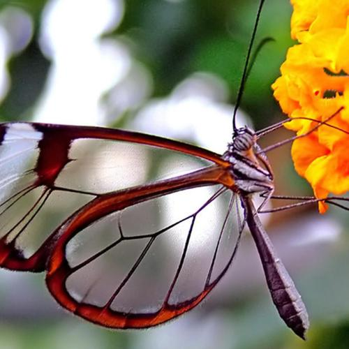 Transparent Butterfly and orange flower