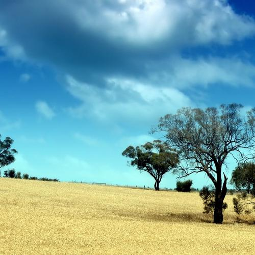Tree in the golden field wallpaper