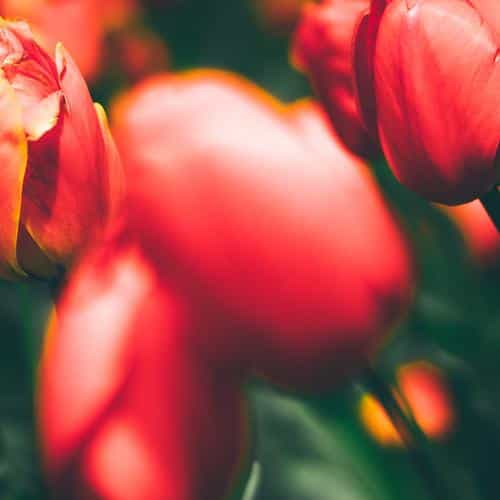 tulips red flower nature spring